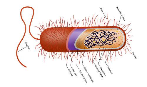 細菌とはどんな生き物なのですか? | マイクロバイオームの専門 ...